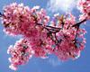 hennes: Blossom (Blossom)