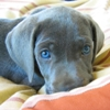 mental_squint: (Animals - Blue-eyed Puppy)