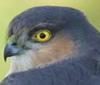 sprrwhwk: (sparrowhawk)