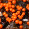 armadillo: (Orange)
