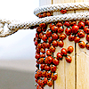 nishatalitha: image: lots of ladybirds crawling up fencepost.  white rope is wrapped twice around top of fencepost (Night)