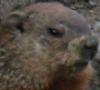 etb: woodchuck head (woodchuck)