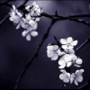 nightmareink: tree branches with white flowers on them (Default)