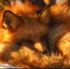 kitsune_das: (Sleepy Fox)