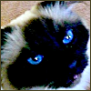 vilakins: (birman cat)