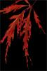lyonesse: (maple from corivax)