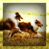 sidheblessed: (Running collies)