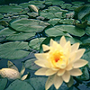 lizcommotion: image of a water lily blooming in a pond (lily)