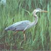 felicula: A great blue heron steps carefully through the reeds. (heronsinger)