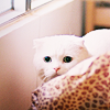 distractionary: startled white Scottish Fold cat behind a pillow (omg nuuu)