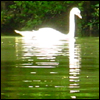 pepper: Swan on green river (Swan)