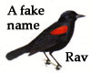 """fakename: A red winged blackbird with the text """"A fake name, Rav."""" (redwing)"""