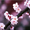 ldybastet: A branch with sakura flowers (Sakura)