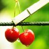 starveling: (cherries)