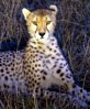 narrativian: cheetah in savannah grass at night (F: Serengeti cheetah)