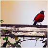 nomore: Robin bird on a branch, beige background. Distinctly red bird. (R :: Black)