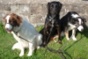 zoolady: a picture of my 3 dogs (dougie, shadow and storm)