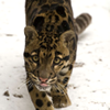 feralkiss: Clouded leopard walking up to the viewer, intense look and tongue licking its lips. (artme_greyday)
