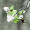 leila: bumblebee (hummel)
