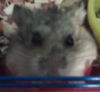 threeley: A Russian dwarf hamster looking up at my phone camera. (Chubs)