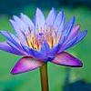 lavendertook: (lavender luminous lotus)