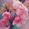 lavendertook: (cherry blossoms)