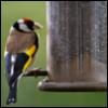 uninvitedcat: Goldfinch on niger seed feeder (goldfinch)