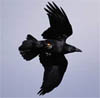 crows: (flying raven)