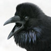 crows: (caw)