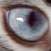 telegramsam: My cat Rose's eye. (Catseye)