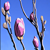 vilakins: (magnolias)