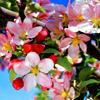 lavendertook: (pink crabapple blossoms)
