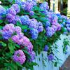 lavendertook: (hydrangeas)