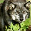 kyiyu: (Wolf nom)