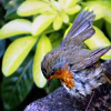 nomore: Robin bird sitting near two-colored plants, wings spread. (R :: Take Off)