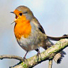 nomore: Branch-sitting robin bird with open mouth. (R :: Annoyed Robin)