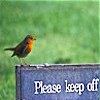 nomore: Robin sitting near grass on a banner reading 'Please keep off', white letters against blue background. (R :: Shoo)