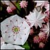 lavendertook: (mountain laurel close up)