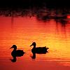 genericzombie: (Birds: Ducks)
