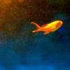 glassfish: (lone little fish)