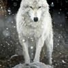asavagegarden: (wolf)