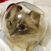 foxfirefey: A cat with a fish bowl on its head. (space cadet)