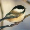 nautilusl2: (chickadee)