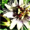 sa_kun: Passiflora, vit (white passiflora)