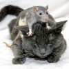 rising: a rat on top of a cat. (the cadre: rat on cat)