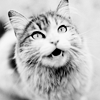 coffeevore: A cat meowing up at people. (cat)
