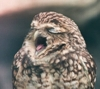 myschyf: (Singing Owl)