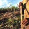 bossymarmalade: man peeling sugarcane (this our native land)