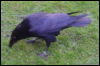 green_dreams: (Tower raven)