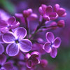 green_dreams: (lilacs bright may 25th)